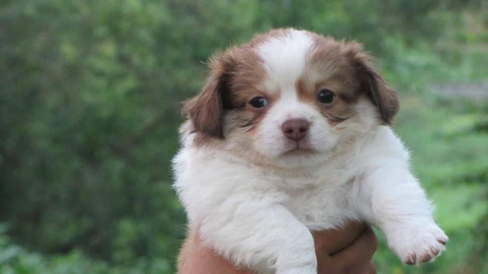 Chó Nhật mini