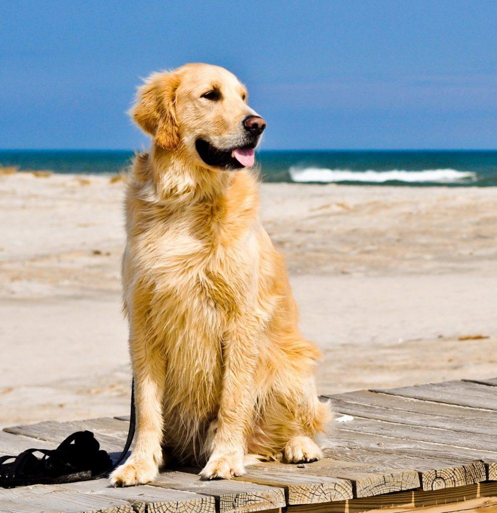 Phong cách bán hàng của chó Golden Retriever