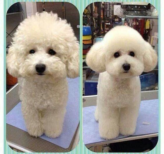 dưỡng lông đầu dài cho chó Poodle