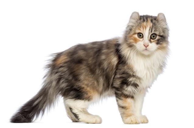 Cách nuôi Mèo Kinkalow