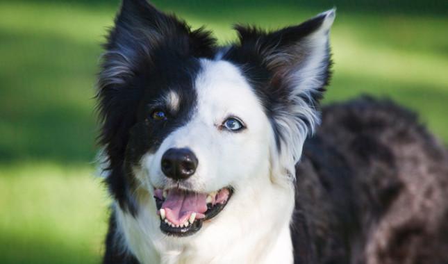 Tìm Hiểu Về Giống Chó Border Collie
